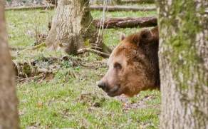 Dartmoor Zoo - Bear in the woods by Hannah Sterry