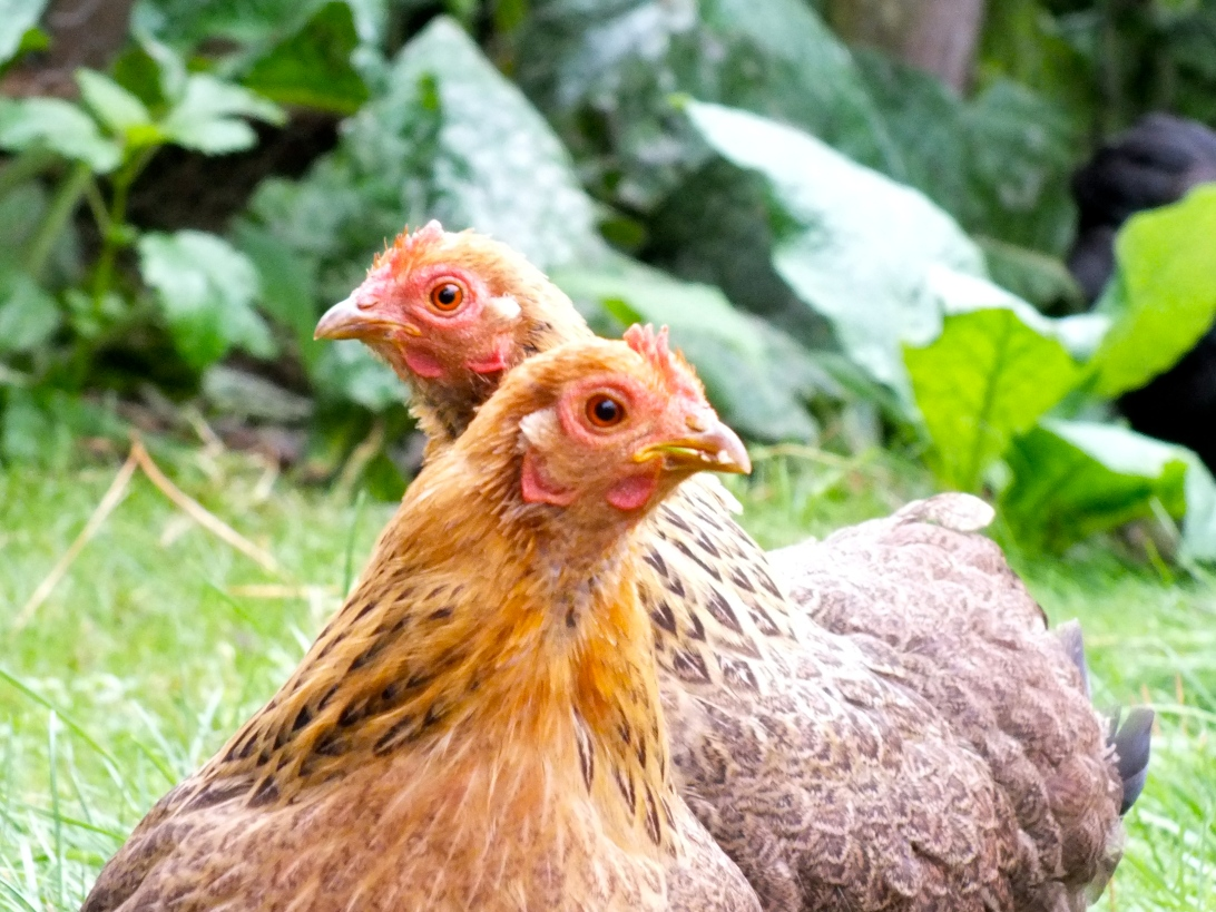 Cute chicken family with chicks.