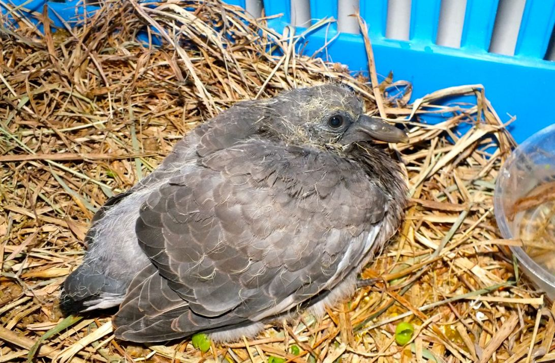 Accidentally acquired this Baby Pigeon. Photo by Hannah Sterry.