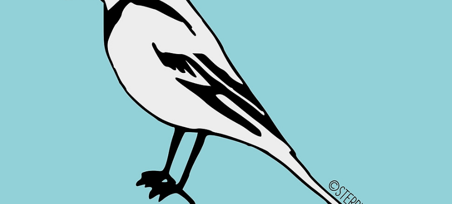 Pied Wagtail - Bird illustration by Hannah Sterry (Sterry Cartoons).